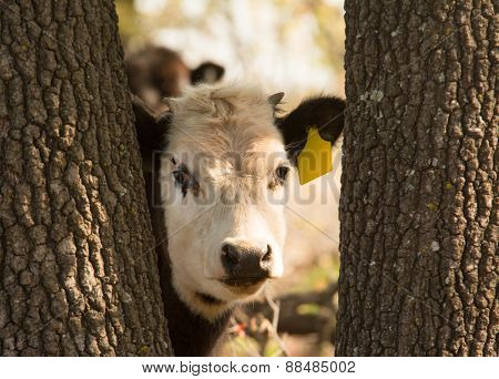 Young white faced steer peeking curiously through tree trunks at the viewer