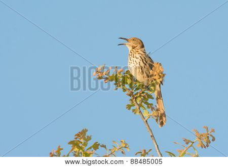 Brown Thrasher singing on top of an oak tree in early spring evening sun, against clear blue sky