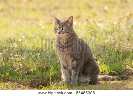Blue tabby cat in shade in spring
