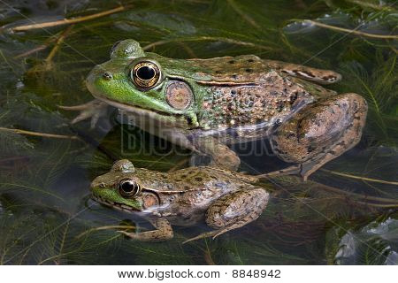 Two Bull Frogs
