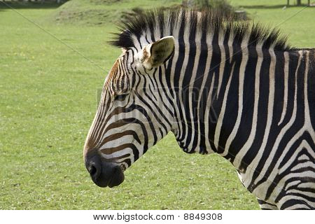 Sad Faced Zebra