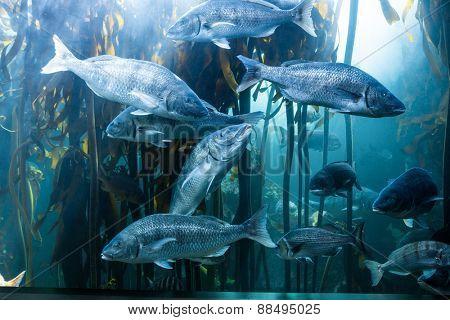 Big fish swimming in a illuminate tank with algae at the aquarium