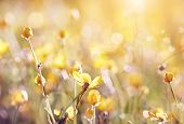 stock photo of buttercup  - Background with yellow wildflowers of a buttercup on a meadow lit with the sun. ** Note: Visible grain at 100%, best at smaller sizes - JPG