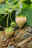 image of strawberry plant  - Fresh Green And Red  Raw Strawberries On A Plant - JPG
