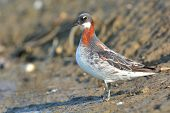 image of red-necked  - Red - JPG