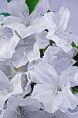 stock photo of azalea  - A pair of white azaleas in full frame background picture - JPG