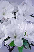 picture of azalea  - A pair of white azaleas in full frame background picture - JPG