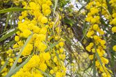 picture of mimosa  - Acacia dealbata flower  - JPG