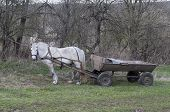 picture of feeding horse  - White horse with a old cart  - JPG