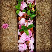 stock photo of fallen  - pink petals fallen from cherry tree between stones in springtime - JPG