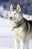 image of sled-dog  - Portrait of siberian husky sled dog at snowy winter - JPG