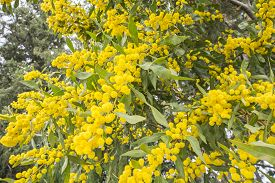 pic of mimosa  - Acacia dealbata flower  - JPG