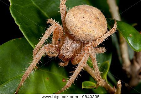 Macro Brown Spider