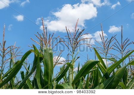 Corn plants with panicles