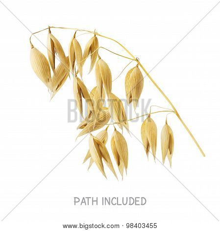 Yellow Oat Head Isolated On White Background