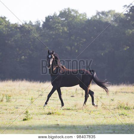 Brown Stallion With Pricked Ears In Morning Field