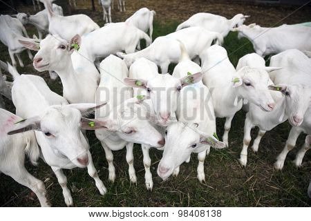 Herd Of White Goats Outside Farm In Holland