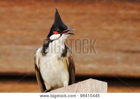 Red-whiskered Bulbul Pycnonotus Jocosus