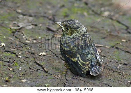 Emberiza Citrinella. Fledgling Bird Buntingl.