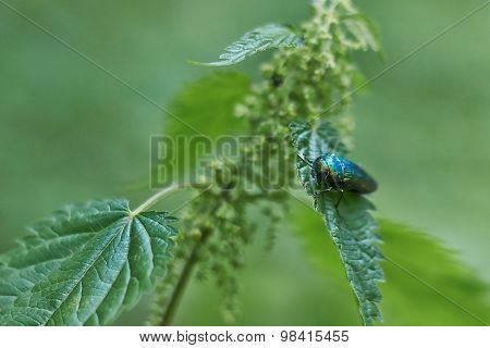 Green Beetle On Green Leaf.