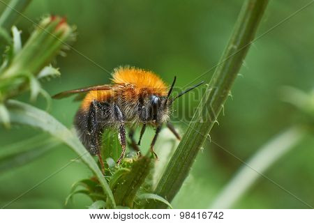 Bumblebee Resting On A  Plant.