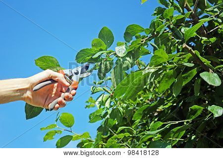 Gardener Cuts A Branch Of Plum Tree