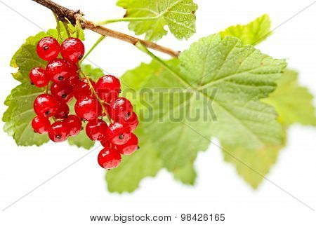 Red Currant Bunch Isolated On White