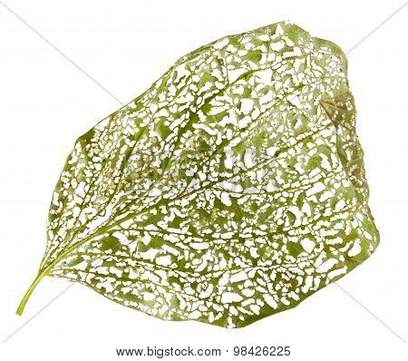 Leaf Perforated By Vermin