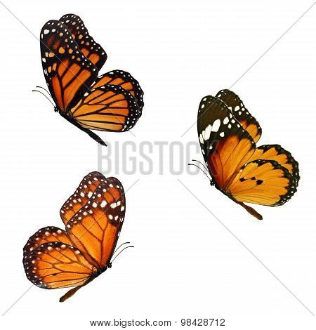 Beautiful Three Monarch