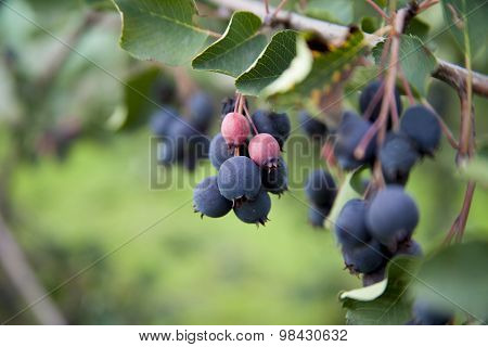 Saskatoon berries growing on a tree branch
