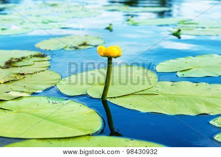 Yellow Flower- Water Lilly