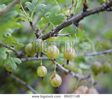 Green gooseberry growing on a bush