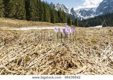 Crocuses (crocus Scepusiensis) Blooming In A Clearing In The Valley Tatra In Poland