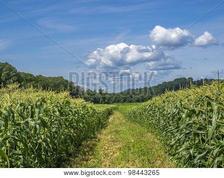 Sweet Corn Field