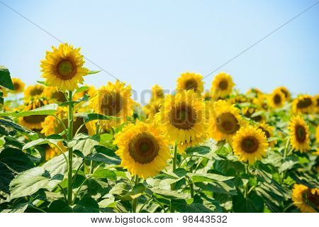 Field of Beautiful Bright Sunflowers Against the Blue Sky. Summer Flowers