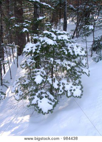 The Snowbound Fir-Tree