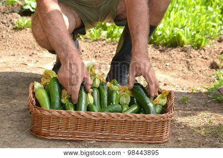 Farmer collecting zucchini basket from crop.
