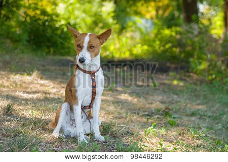 Basenji having rest at summer morning