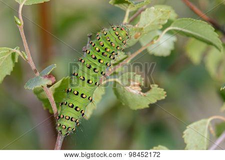 Emperor Moth caterpillar(Saturnia pavonia)