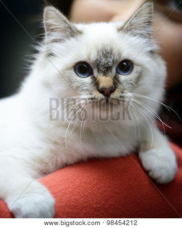 Beautiful Birman Cat Being Hugged