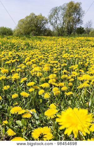 Taraxacum Officinale (common Dandelion, Dandelion) On The Meadow