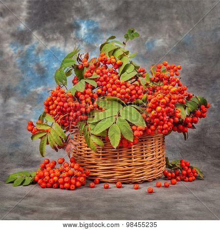 Still Rowan Berries In The Basket. Autumn Concept
