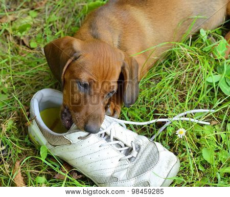 Dachshund puppy plays with shoe outside in grass