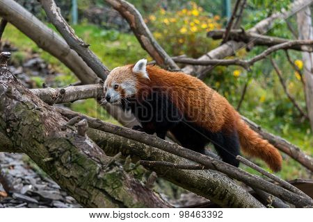 Red Panda Walking In Some Trees