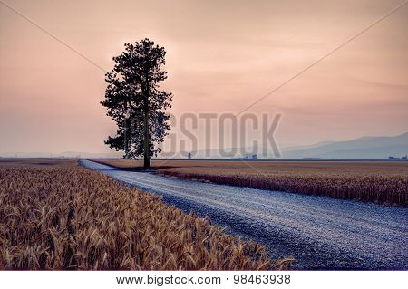 Road By Wheat Field.