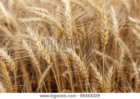 Golden Stalks Of Wheat.
