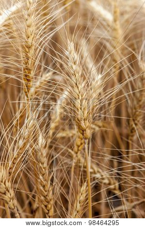 Wheat Stalks.