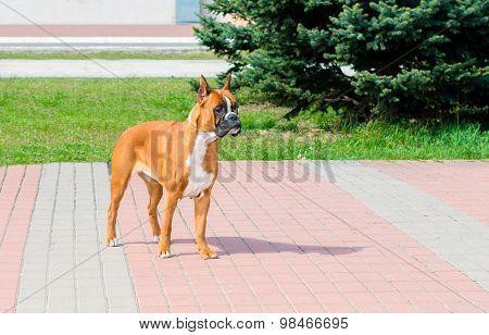 Boxer dog waits.