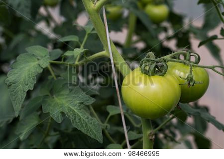 Green Tomatoes Ripening On Vine