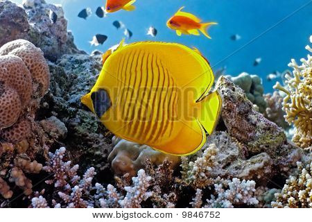 Coral scene with butterfly fish